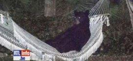 Cet ours se repose dans un hamac !