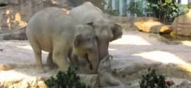 Vidéo. Des éléphants aident un éléphanteau dans un zoo