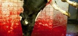 Vidéo choc : l'abattage halal en images