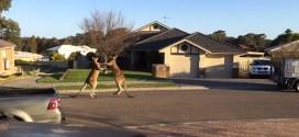 Vidéo. Combat de rue entre deux kangourous