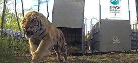 Vidéo. Remise en liberté historique de tigres en Russie