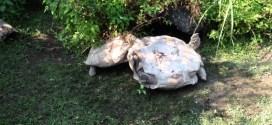 Vidéo. Une tortue retourne sa copine qui est sur le dos