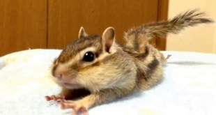 Vidéo. Un écureuil de Corée s'étire de bon matin