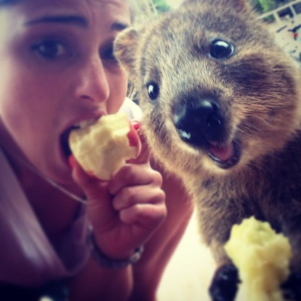quokka-selfie-trend-cute-rodent-australia-18__605