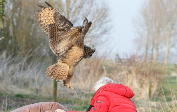 owl-lands-on-head-netherlands-noordeinde-7
