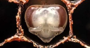 Vidéo. La naissance d'une abeille en accéléré (time-lapse)