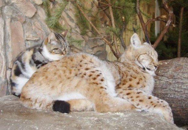 Lynx_cat_nap-622x431-622x431