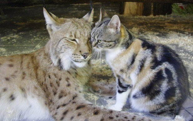 potd-cat-lynx_2960111k-622x389