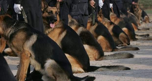 Des chiens policiers clonés pour réduire le coût de formation