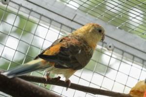 Femelle croupion rouge orange opaline