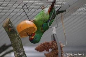 Perruche de Latham swift parrot