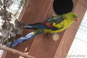 perruche mélanure élevage