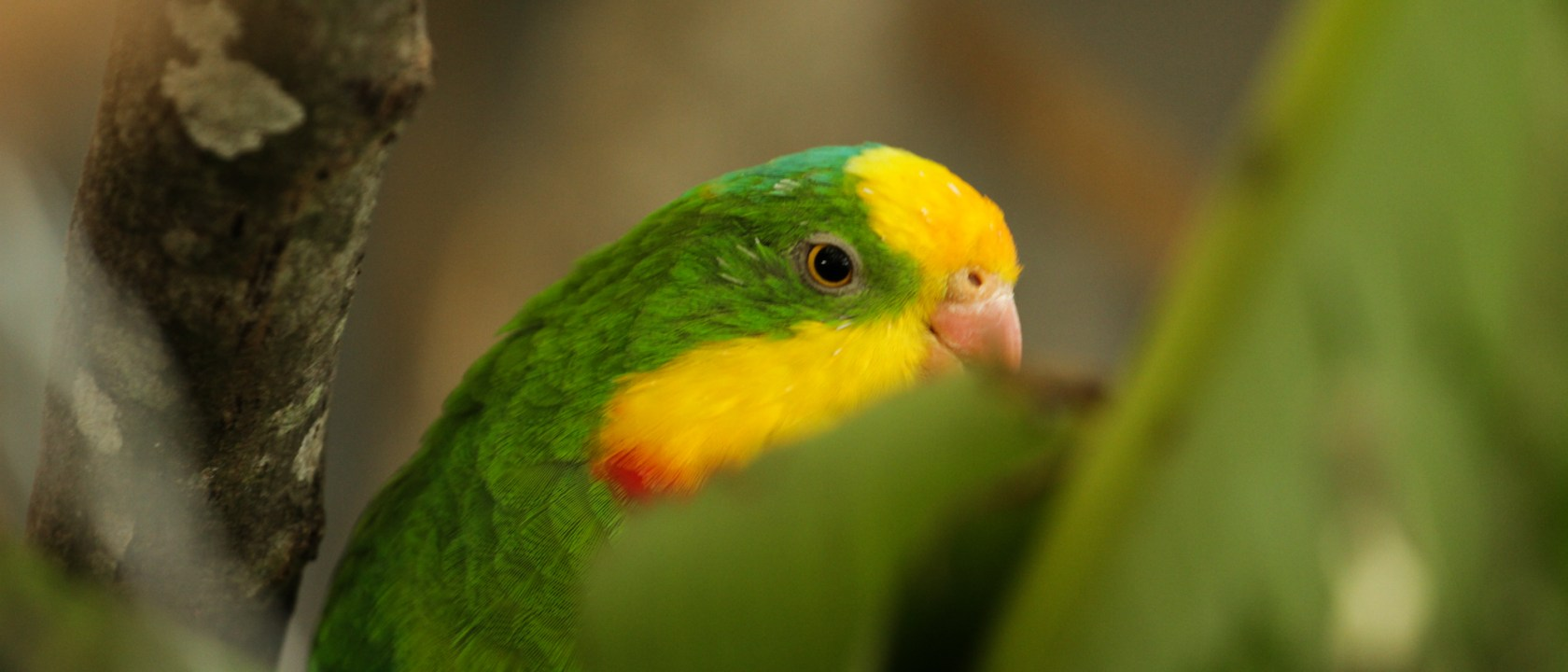 barraband superb parrot