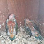 saison de reproduction 2020 perruche à croupion rouge