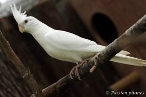 calopsitte albino