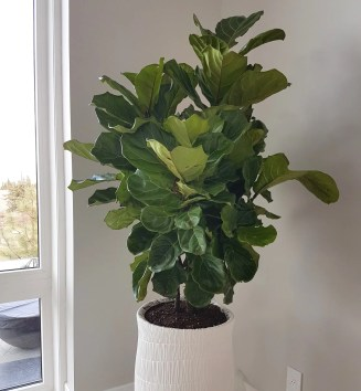 fiddle-fig-tree-potted