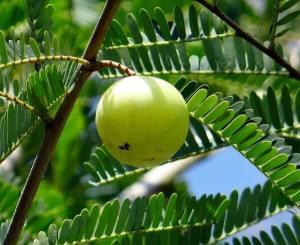 Amla la groseille Indienne gorgée de vitamine C