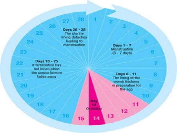 Calendario Ovulazione Giorni Fertili.Calcolo Periodo Fertile Ovulazione E Calendario Mestruale