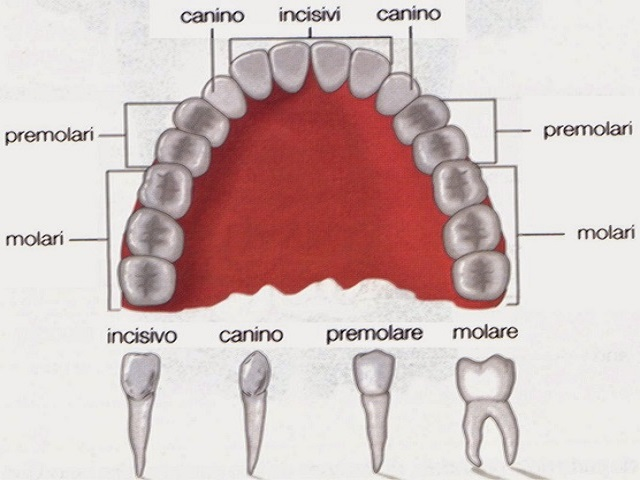 Denti da latte quali sono e quando cadono - Immagini dei denti da colorare ...
