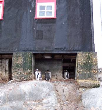 The penguins happily nest underneath the Penguin Post Office in Port Lockroy, Antarctica