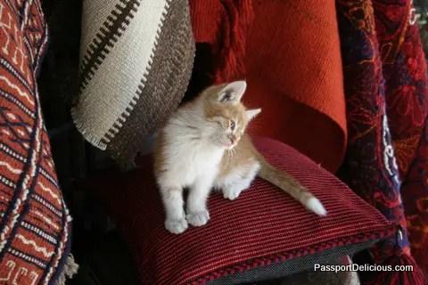 kitten in syria