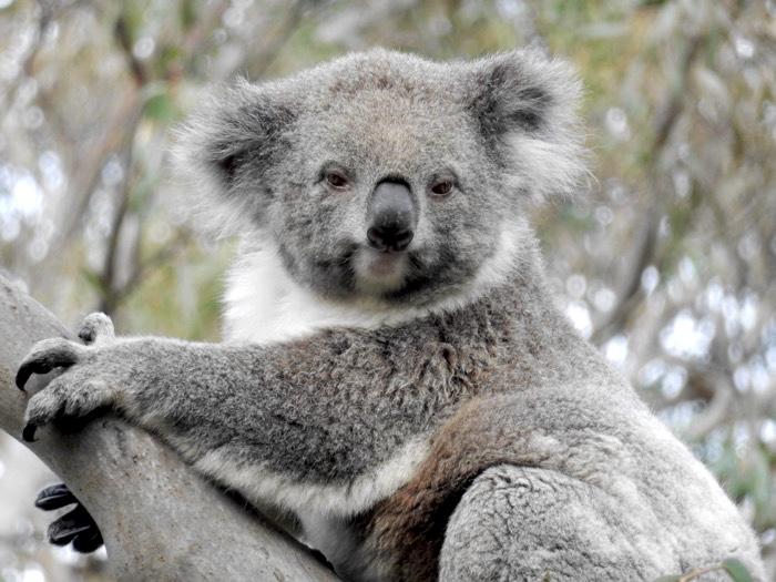 Koala Hai