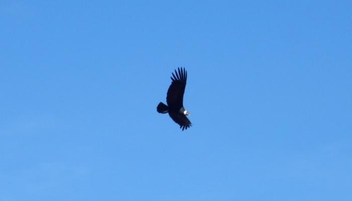 19-cruz-del-condor-andean-condors