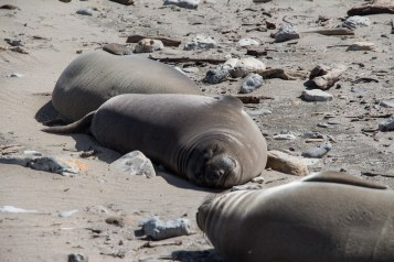 What to Elephant Seals Dream of?