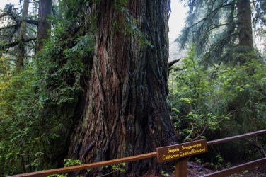 Sequoia Sempervirons, Coastal Redwood