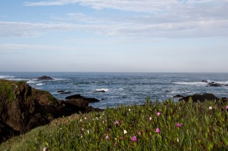 Ice Plant blooming on the Pacific Coast