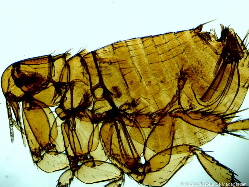 Montage de Xenopsylla brasiliensis mâle prise au microscope
