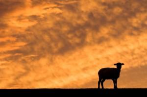 lambsunset