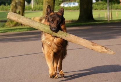 german-shepherd-and-big-stick2