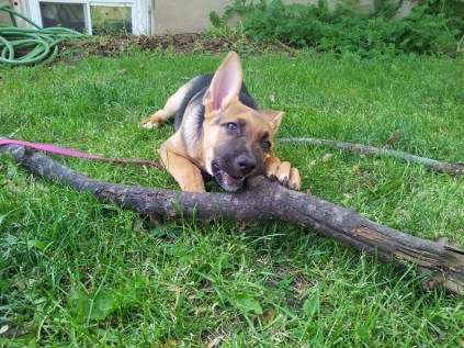german-shepherds-stick1
