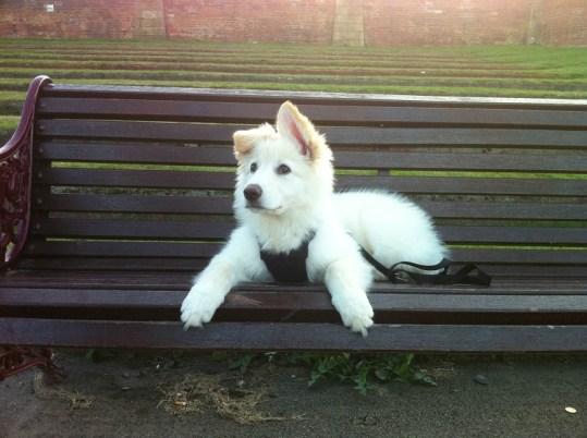 white-german-shepherd-puppy6
