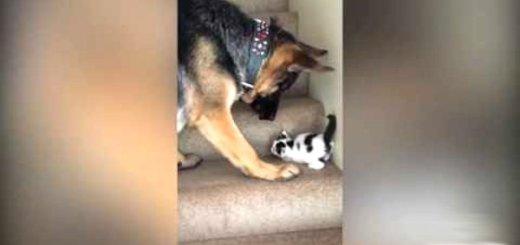 cao pastor alemao ajuda gato subir escadas