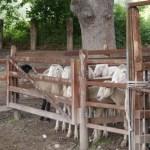 Sheep16_02