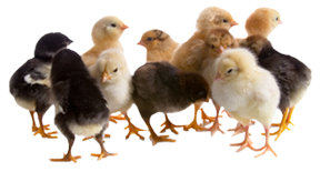 Chicks_ForChickPosts.png