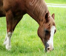 Spring Grass For Horses