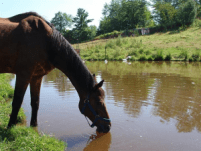 heat stress in horses