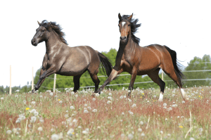 AdobeStock_Grey Chesnut Horses Running_66087689