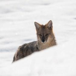 Zorro animal patagónico resistiendo el invierno.