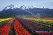 tulipans01