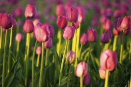 tulipans04