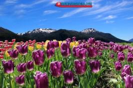 tulipans05