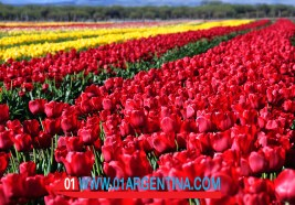 tulipans06