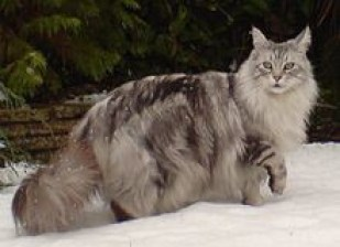 Maine Coon Cat—comfortable in harsh conditions. (Not to mention it's also rather beautiful, don't you think?)