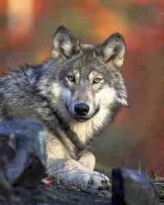 Giraffensprache Wolf GFK Mit Kindern Symboltier