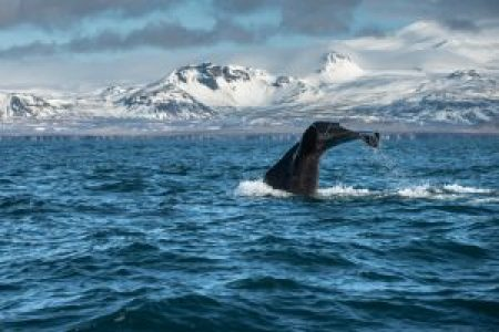 Sperm Whale off the north coast of Snaefellsnes Peninsula, Iceland.