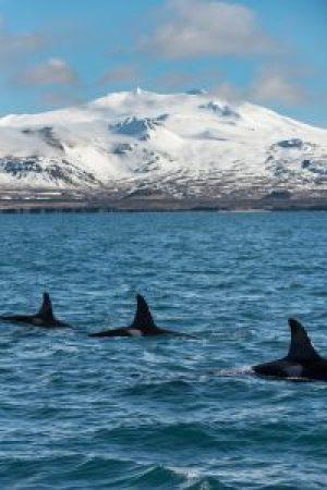 Killer Whales, Orca (Orcinus orca), Grundarfjörður, Iceland.